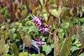 Epimedium grandiflorum Lilafee 1zz.jpg