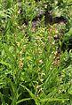Epipactis gigantea meadow-clump.jpg