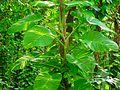 Epipremnum aureum (4).jpg