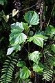 Erato polymnioides (Asteraceae) (30361407622).jpg