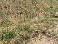 Eriogonum cernuum var. cernuum kz01.jpg