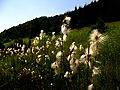 Eriophorum latifolium IMG 4468.jpg