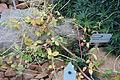Espostoa lanata - Botanischer Garten, Dresden, Germany - DSC08833.JPG