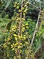 Eucalyptus camaldulensis 19.JPG