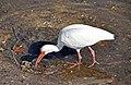 Eudocimus albus (American white ibis) (Sanibel Island, Florida, USA) 3.jpg