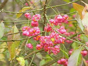 Image of Euonymus europaeus: http://dbpedia.org/resource/Euonymus_europaeus