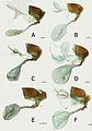 Euphaedra cyparissa female genitalia - ZooKeys-298-001-g010.jpg