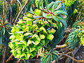 Euphorbia characias subsp. wulfenii in Jardin des Plantes 04.JPG