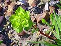 Euphorbia helioscopica Enfoque 2011-3-20 SierraMadrona.jpg