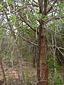 Euphorbia nivulia bark and leaf pattern.jpg