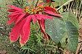 Euphorbia pulcherrima 02.JPG