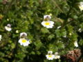 Euphrasia officinalis06.jpg