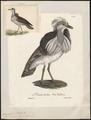 Eupodotis houbara - 1825-1834 - Print - Iconographia Zoologica - Special Collections University of Amsterdam - UBA01 IZ17200071.tif