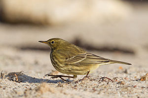 Eurasian rock pipit - On Heligoland in the North Sea