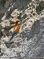 European Bee-eater (Merops apiaster) (46858353952).jpg