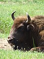 European Bison - Byelovezhskaya Puscha State National Park - Near Kamenyets - Brest Oblast - Belarus (27359897282).jpg