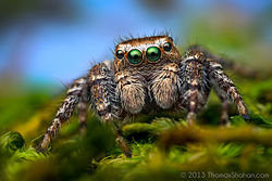 Evarcha proszynskii - Adult Male Jumping Spider - Oregon.jpg