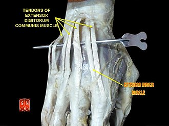 Extensor indicis muscle - Image: Extensor indicis muscle