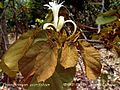 FM-Kanak-Champa-Pterospermum.acerifolium-Leaves.jpg