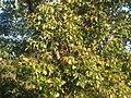 Fagales - Quercus robur - 017.jpg