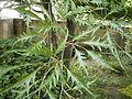 Fagus sylvatica 'Asplenifolia' detalle.JPG