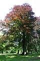 Fagus sylvatica 'Atropunicea' - Mariemont.jpg