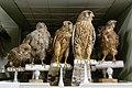 Falco tinnunculus Zootheque MNHN.jpg