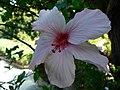 Fale - Giardini Botanici Hanbury in Ventimiglia - 558.jpg