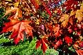Fall Maple Leaves (197591053).jpeg