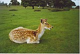 A fallow deer lying on the grass.