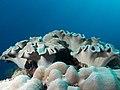 False Toadstool Coral (Sarcophyton ehrenbergi) (48737740917).jpg