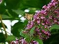 Falter an einem Schmetterlingsflieder.JPG