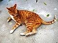 Felis catus.jpg