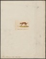 Felis planiceps - 1834 - Print - Iconographia Zoologica - Special Collections University of Amsterdam - UBA01 IZ22100260.tif