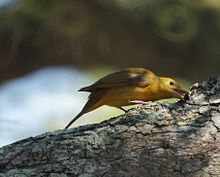 Female Summer Tanager (7093902581).jpg