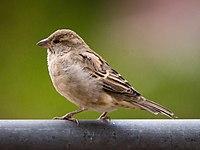 Female house sparrow at Kodai.jpg
