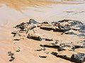 Fernando de Noronha Insel crab (22215362765).jpg