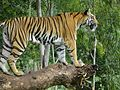 Ferocious Tiger 2.jpg
