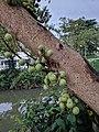 Ficus racemosa @ Swapbanagari.jpg