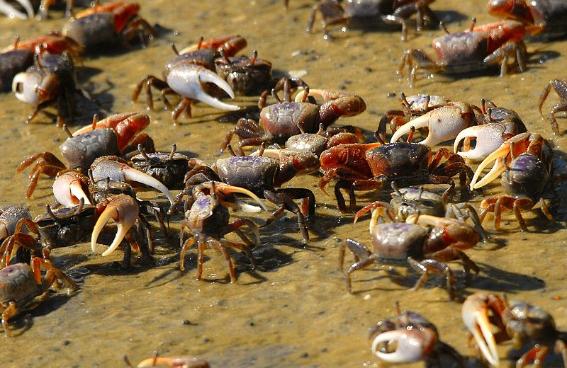 File:Fiddler Crabs at Indian River Lagoon - Flickr - Andrea Westmoreland.jpg