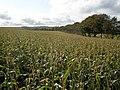 Field of maize, Trebarrow - geograph.org.uk - 1006162.jpg