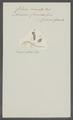 Filaria coronata - - Print - Iconographia Zoologica - Special Collections University of Amsterdam - UBAINV0274 104 04 0002.tif