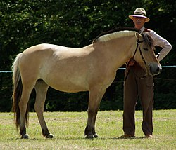 Fjord Pony at Collettes Horse Show August 2011 - 1.jpg