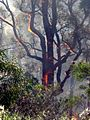 Flaming tree 3 - Flickr - Highway Patrol Images.jpg