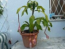Epiphyllum oxypetalum wikip dia - Belle de nuit plante ...