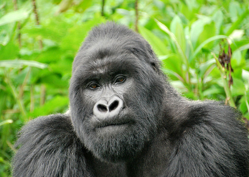 File:Flickr - Carine06 - Silverback.jpg