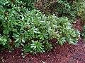 Flickr - brewbooks - Quercus sadleriana (Deer Oak).jpg