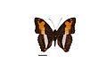 Flickr - ggallice - Adelpha capucinus (1).jpg