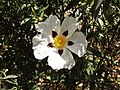Flor de jara.JPG