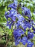 Flor do jacarandá-mimoso ou caroba (Jacaranda mimosifolia, D. Don.).jpg
